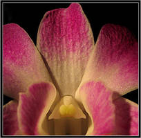 Orchid by aural