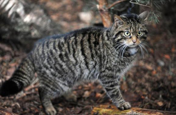Scottish Wildcat by moravid
