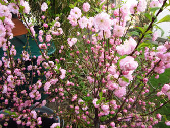 Cherry.Blossoms. by NinaVonMoria