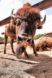 Buffalo:  Hey Man, Wha'cha Doing?  (II) by basseca