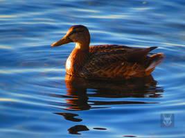 Duck In Sunlight by wolfwings1