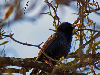 Spotted Starling by wolfwings1