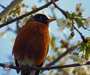 The Blossoming Robin by wolfwings1