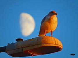 Moon Seagull by wolfwings1