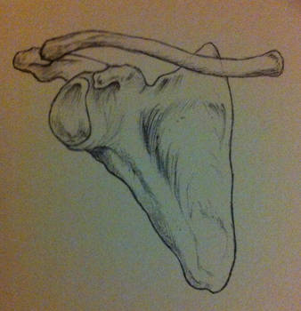 Scapula front by bl1zzardst0rm