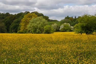 Buttercup Field by stebev