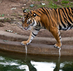 Angry Tiger by lupiniastudios