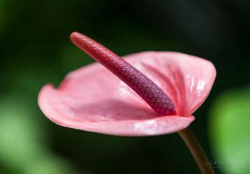 Pink by lupiniastudios