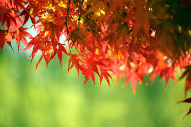Momiji Maple 2010 03 by theblindalley