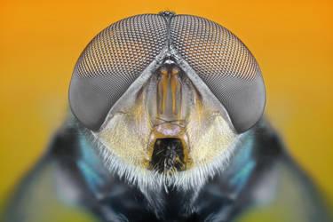 Housefly by djusa
