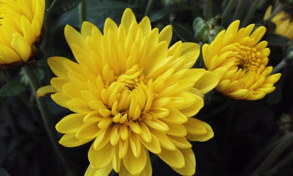 Yellow Mum by Ministry-Maiden