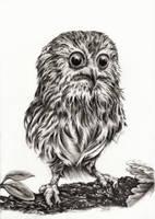 Little Owl by Adniv