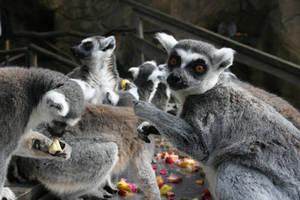 Lemurs of Skansen by Bozack