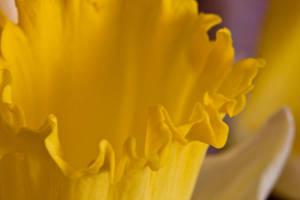 Daffodil series I by Bozack