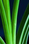 Palm leafes by Bozack