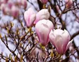 Magnolia series II by Bozack