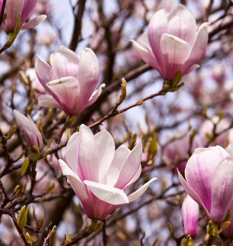 Magnolia series IV by Bozack