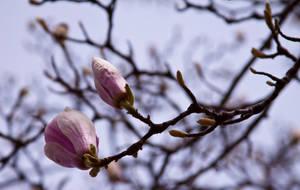 Magnolia series V by Bozack