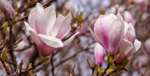 Magnolia series VI by Bozack