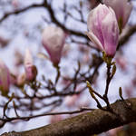 Magnolia series VII by Bozack