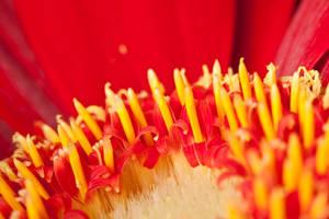 Red petals VI by Bozack