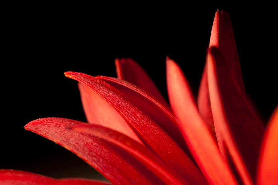 Red petals VIII by Bozack