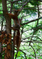 Red squirrel IV by Bozack
