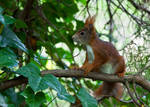 Red squirrel V by Bozack