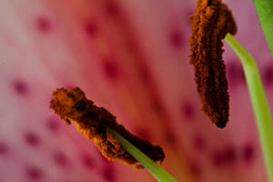 Lily pink 6 by Bozack