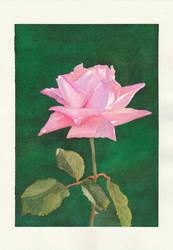 Pink Rose by steel--blue