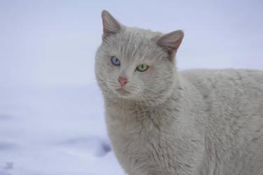Heterochromia cat by Solitude111