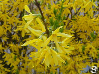 Forsythia by II-S
