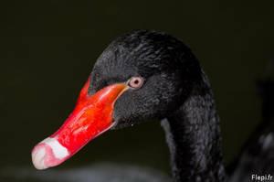Black swan by flepi