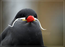 Male Inca Tern by Narked-Photographer