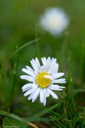 Shy daisy by LordLJCornellPhotos
