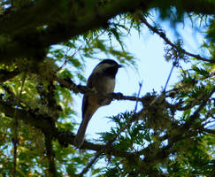 Chickadee in a tree by FeynaSkydancer