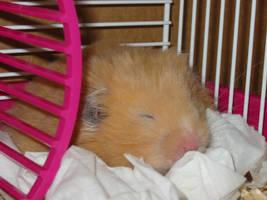 Hamster by tig3rcat