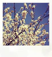 Polaroid Blossom by ninaheather