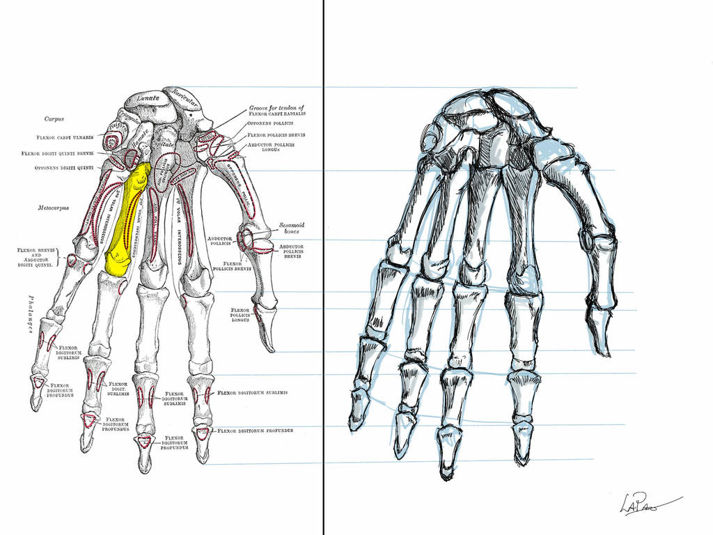 Anatomy Exercise Hand Bones By Lapaowan On Deviantart