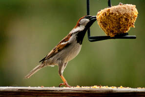 House Sparrow by Maginater