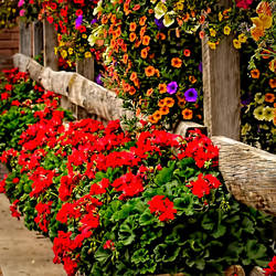 Telluride Floral Display by slkendall