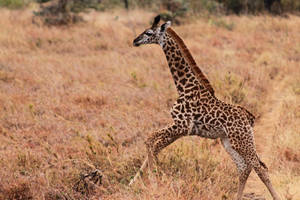 Baby Giraffe by rbwissner