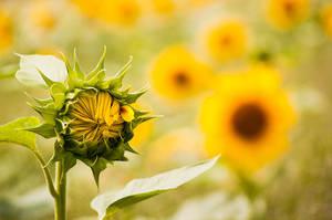 sunflowers III by torobala