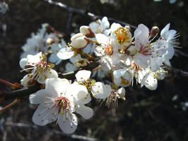 Blackthorn blossom (close-up) by artjuggler