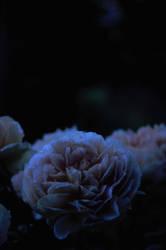 Midnight Beauty by MBauernhofer