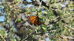 Monarch butterfly by LandscapesNSuchPhoto
