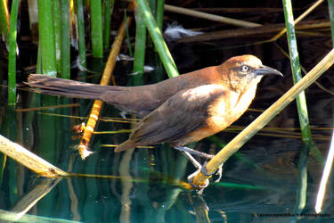 Female Great tail grackle by LandscapesNSuchPhoto