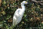 Snowy Egret by LandscapesNSuchPhoto
