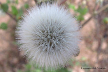 Dandelion by LandscapesNSuchPhoto