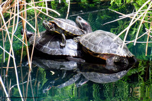 Red Eared sliders by LandscapesNSuchPhoto